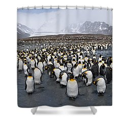King Penguins Aptenodytes Patagonicus Shower Curtain by Panoramic Images