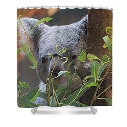 Koala Bear  Shower Curtain by Dan Sproul