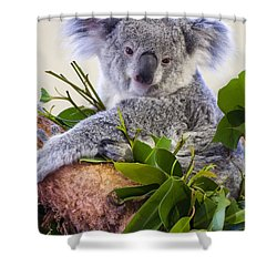 Koala On Top Of A Tree Shower Curtain by Chris Flees