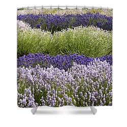 Lavender Bands Shower Curtain by Anne Gilbert