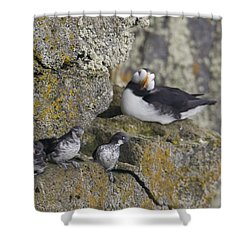 Least Auklets Perched On A Narrow Ledge Shower Curtain by Milo Burcham