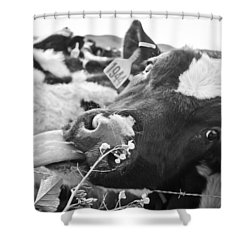 Licking The Picture Frame Shower Curtain by Priya Ghose