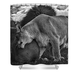 Lion Hugs In Black And White Shower Curtain by Thomas Woolworth
