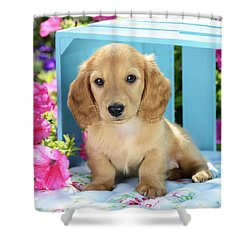 Long Eared Puppy In Front Of Blue Box Shower Curtain by Greg Cuddiford