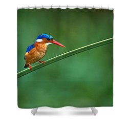 Malachite Kingfisher Tanzania Africa Shower Curtain by Panoramic Images