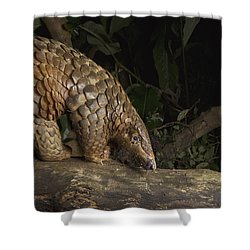 Malayan Pangolin Eating Ants Vietnam Shower Curtain by Suzi Eszterhas