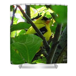 Male American Goldfinch Shower Curtain by J McCombie