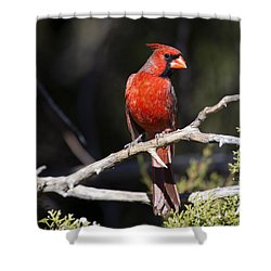 Male Northern Cardinal Shower Curtain by Gary Langley