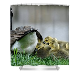 Mama And Goslings Shower Curtain by Lisa Phillips