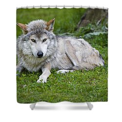 Mexican Gray Wolf Shower Curtain by Sebastian Musial
