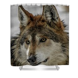 Mexican Grey Wolf Upclose Shower Curtain by Ernie Echols