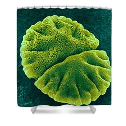 Shower Curtain featuring the photograph Micrasterias Angulosa, Algae, Sem by Science Source