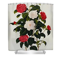 Myrtle Leaved Camellia Shower Curtain by Clara Maria Pope
