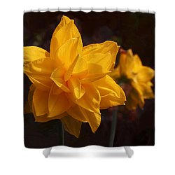 Narcissus Sweet Sue In Full Bloom Shower Curtain by Rona Black