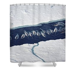 Narwhal Group In Ice Break Shower Curtain by Flip Nicklin