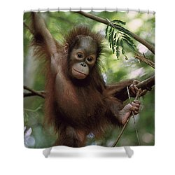 Orangutan Infant Hanging Borneo Shower Curtain by Konrad Wothe