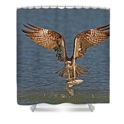 Osprey Morning Catch Shower Curtain by Susan Candelario