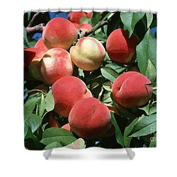 Peaches On Tree Shower Curtain by Lanjee Chee