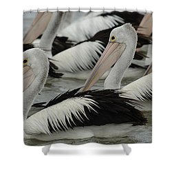 Pelicans Galore Shower Curtain by Bob Christopher