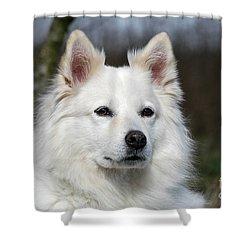 Portrait White Samoyed Dog Shower Curtain by Dog Photos
