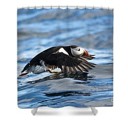 Puffin Starting To Fly Shower Curtain by Heiko Koehrer-Wagner