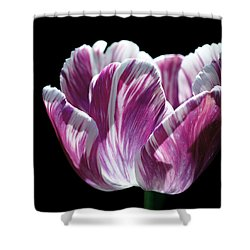 Purple And White Marbled Tulip Shower Curtain by Rona Black