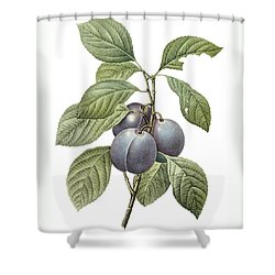 Purple Plum Shower Curtain by Spencer McKain