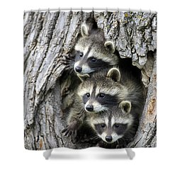 Raccoon Trio At Den Minnesota Shower Curtain by Jurgen & Christine Sohns