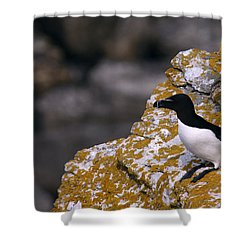 Razorbill Bird Shower Curtain by Dreamland Media