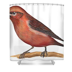 Red Crossbill Shower Curtain by Anonymous