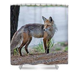 Red Fox Shower Curtain by Robert Bales