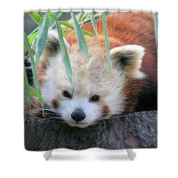 Red Panda Shower Curtain by Karol Livote