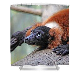 Red-ruffed Lemur Shower Curtain by Karol Livote