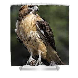 Red Tailed Hawk Shower Curtain by Dale Kincaid