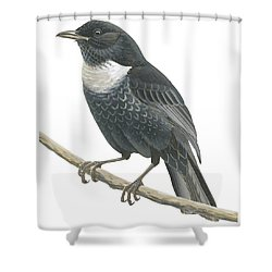 Ring Ouzel  Shower Curtain by Anonymous