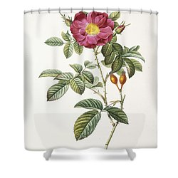 Rosa Damascena Coccina Shower Curtain by Pierre Joseph Redoute
