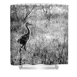Sandhill Chick In The Marsh - Black And White Shower Curtain by Carol Groenen