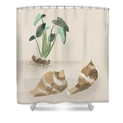 Satoimo Taro Potato  Shower Curtain by Aged Pixel