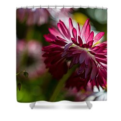 Shy Mum - Chrysanthemum Shower Curtain by Jordan Blackstone