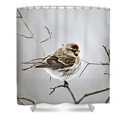 Solitary Redpoll Shower Curtain by Christina Rollo