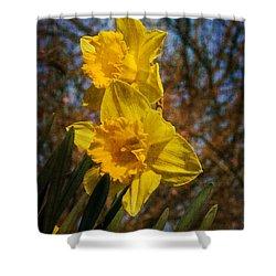 Spring Daffodils  Shower Curtain by Brian Roscorla