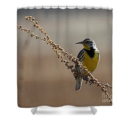 Spring Meadowlark Shower Curtain by Marty Fancy