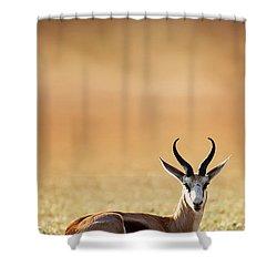 Springbok Resting On Green Desert Grass Shower Curtain by Johan Swanepoel