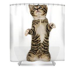 Standing Cat Ck305 Shower Curtain by Greg Cuddiford