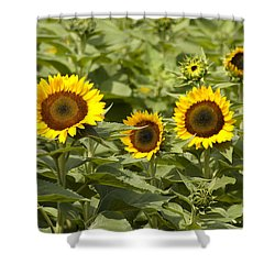 Sunflower Patch Shower Curtain by Bill Cannon