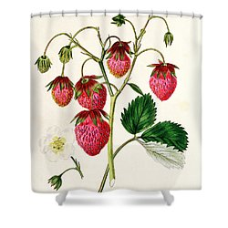 The Roseberry Strawberry Shower Curtain by Edwin Dalton Smith