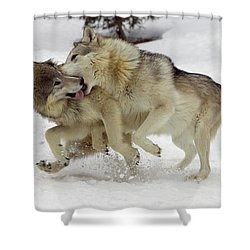 Timber Wolf  Pair Montana Shower Curtain by Matthias Breiter