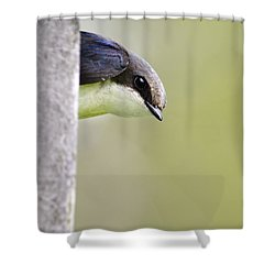 Tree Swallow Closeup Shower Curtain by Christina Rollo