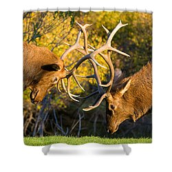 Two Elk Bulls Sparring Shower Curtain by James BO  Insogna