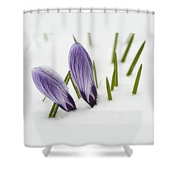 Two Purple Crocuses In Spring With Snow Shower Curtain by Matthias Hauser